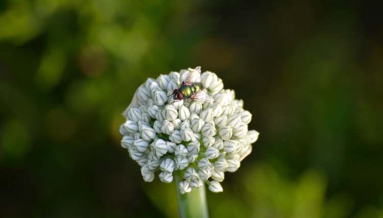 Čebulna muha
